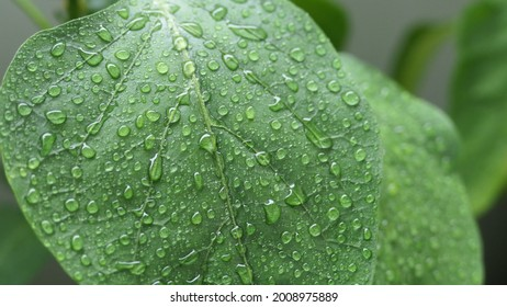 paprika plant on rainyday with raindrops on the leafs