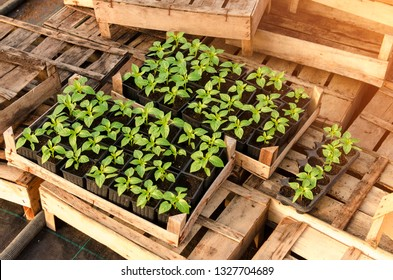 Paprika seedling in wooden crates ready for planting in soil