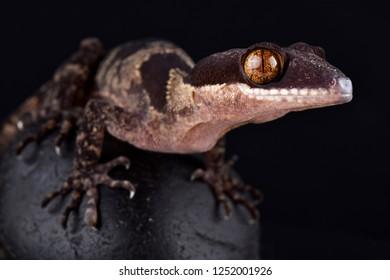 Papua giant banded gecko (Cyrtodactylus louisiadensis)