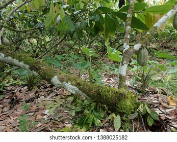 Papua New Guinea cocoa plantation and Cocoa tree in East New Britain. Can be seen in the regular village day tour in Rabaul and Kokopo Town