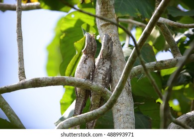 Papuan frogmouth (Podargus papuensis) in Nimbokrang, West Papua New Guinea