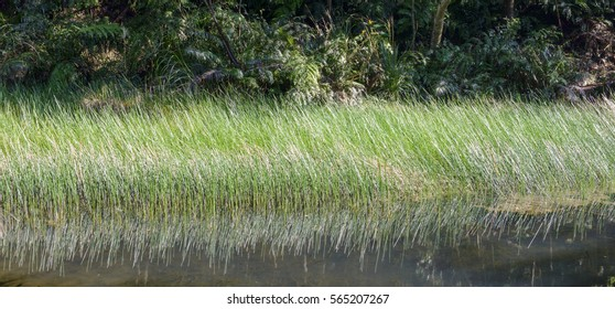 papyrus plants on the water  in wetland