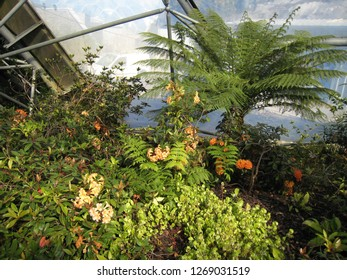 Par, Cornwall / United Kingdom - April 8 2009 : Rhododendrons, orange Clivias (bush lilies) and tree fern in the Mediterranean Biome glasshouse at The Eden Project botanical garden
