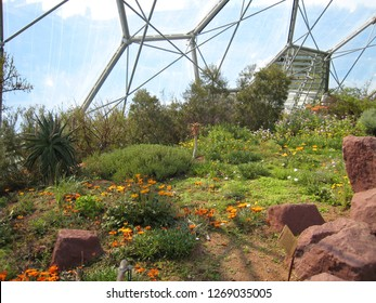 Par, Cornwall / United Kingdom - April 8 2009 :  The South African Namaqualand desert recreated in the Mediterranean Biome of The Eden Project botanical garden, with orange gazania daisies