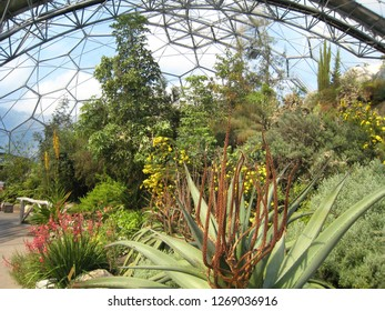 Par, Cornwall / United Kingdom - April 8 2009 :  The South African garden in the Mediterranean Biome of The Eden Project with a giant Aloe ferox and other wildflowers