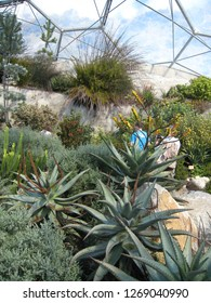 Par, Cornwall / United Kingdom - April 8 2009 :  The South African Garden in Mediterranean Biome of the Eden Project with Aloe ferox, other wildflowers and visitors