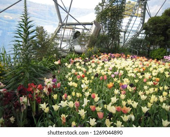 Par, Cornwall / United Kingdom - April 8 2009 :  A colourful display of spring tulips in the Mediterranean Biome of The Eden Project botanical garden
