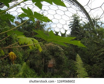 Par, Cornwall / United Kingdom - April 8 2009 : A view of the Rainforest Biome, world's largest indoor rainforest, at the Eden Project botanical garden, with papayas leaves in the foreground