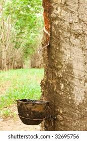 Para rubber tree garden