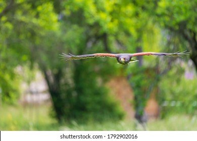 Parabuteo unicinctus - Harris's Buzzard lands on a meadow in the forest and sits on a tree branch. Buzzard is falconed.