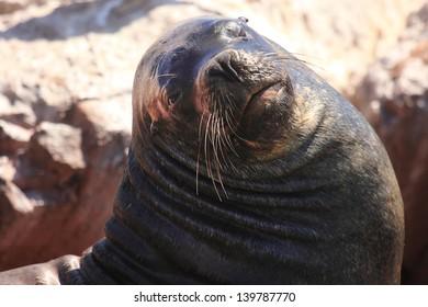Paracas and the Ballestas Islands colony of sea lions mammal marine ocean pacific