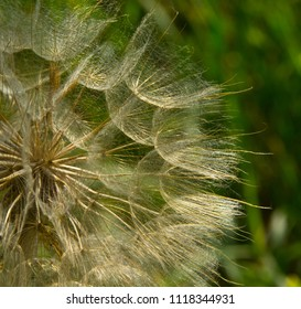 Parachute seed salsify in evening light. To spread to large areas of earth, plant seeds are equipped with parachutes.