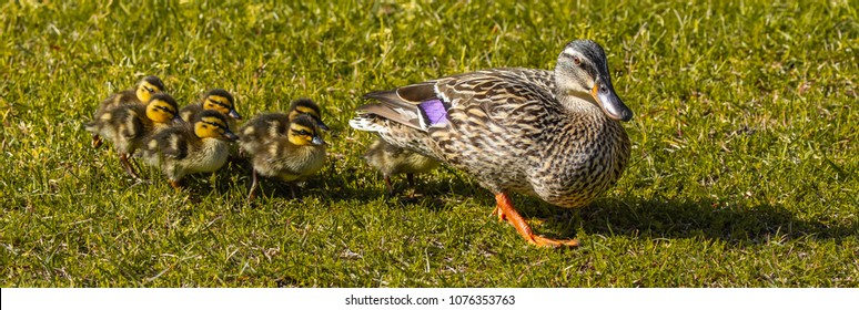 A parade of ducklings following their mother over a grassy field