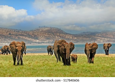 Parade of elephants walking towards camera in Matusadona National Park, on the edge of Lake Kariba with a mountain and blue sky backdrop - Zimbabwe, Southern Africa