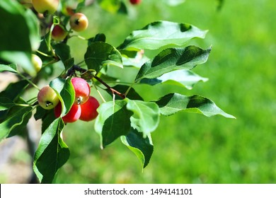 Paradise apples close-up. Paradise apples hang on a tree branch. Apple tree plum. Chinese Apple fruit closeup. Malus prunifolia