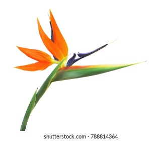 bird of paradise flower images stock photos vectors shutterstock