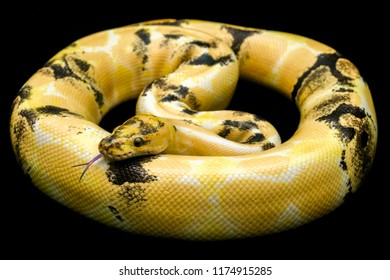Paradox calico morph Ball python (python regius) on and flicks its pink tongue find suspicious black floor background. Image of beautiful snake for exotic pets or reptile keeper.