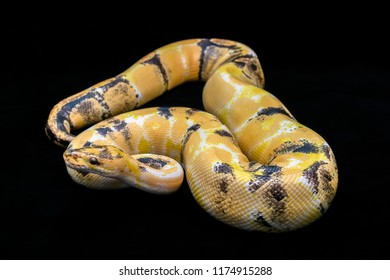 Paradox calico morph Ball python (python regius) on black floor background. Image of beautiful snake for exotic pets or reptile keeper. Amazing pattern on snake skin.