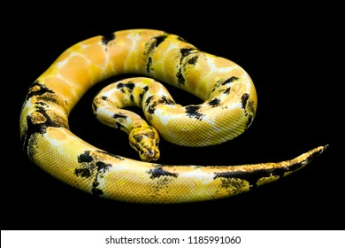 Paradox calico morph Ball python (python regius) on black floor background. Image of beautiful snake for exotic pets or reptile keeper.