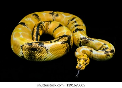 Paradox calico morph Ball python (python regius) on and flicks its tongue find suspicious black floor background. Image of beautiful snake for exotic pets or reptile keeper.