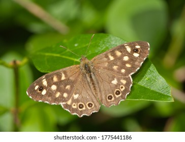 parage aegeria spotted wood butterfly on privit