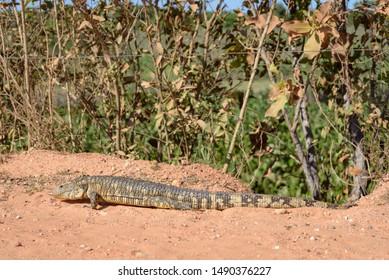 Caiman Lizard Images, Stock Photos & Vectors | Shutterstock