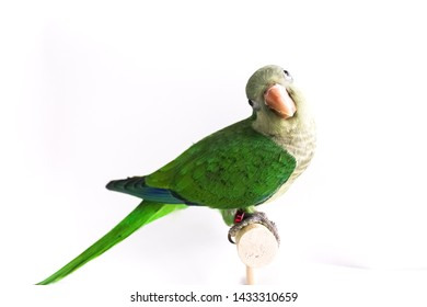 Quaker parrot or monk parakeet