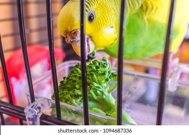A parakeet budgerigar eating some broccoli in her cage