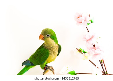 Quaker parrot or monk parakeet green color  and flower