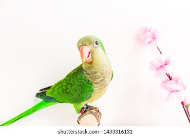 Quaker parrot or monk parakeet green color