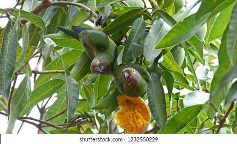 Parakeets Aratinga Wedelli eating mangoes in a mangoe tree.