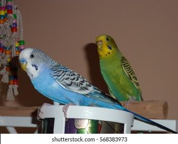 parakeets friends