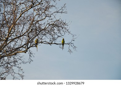 Parakeets are not native of The Netherlands but they have migrated in the country and are now commonly seen roosting on trees.