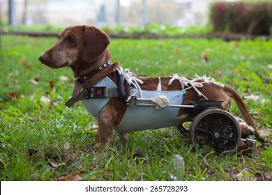 Paralyzed Handicapped Dachshund dog with wheels