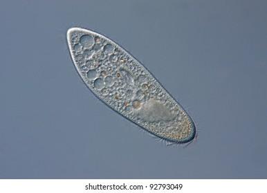 Paramecium caudatum with mouth field, macronucleus and vacuoles