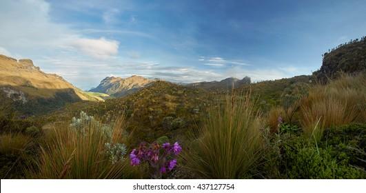 Paramo in Colombia. Tropical, montane ecosystem with espeletia vegetation, typical environment of montagne hummingbirds as Bearded helmetcrest, Oxypogon guerinii, Sumapaz Paramo, Colombia.
