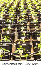 Parana, Brazil, February 26, 2013. Pots with transgenic soybean seedlings in a greenhouse of  Embrapa, in Londrina, north of Parana