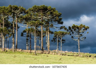 Parana Pine trees in the mountains of Rio Grande do Sul State, South Brazil