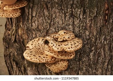 Parasites fungi (Trout flake; Latin Polýporus squamósus) grew on the trunk of a tree