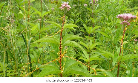 Parasitic Plant Dodder Vine climbing on Joe Pye Weed in forest meadow