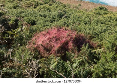 Parasitic Plant Red Dodder (Cuscuta epithymum) Trailing over a Gorse Shrub (Ulex europaeus) on the South West Coast Path in Rural Cornwall, England, UK