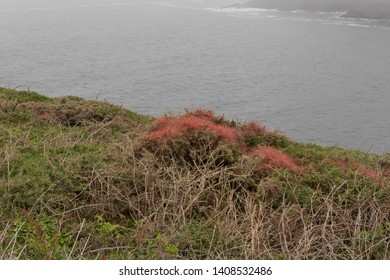 The Parasitic Plant of Red Dodder (Cuscuta epithymum) Growing over Wild Gorse (Ulex europaeus) on the South West Coast Path between Pendeen Watch and Sennan Cove at Cape Cornwall, England, UK