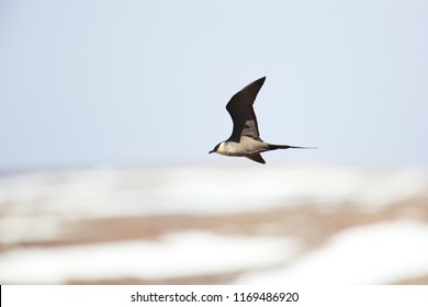 Parasitic skua in flight