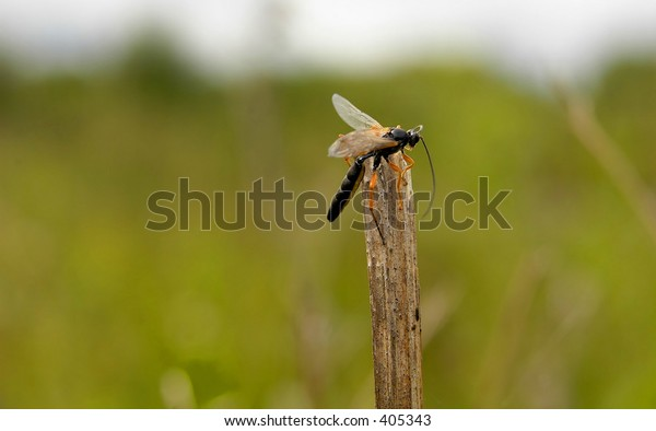 Parasitic wasp, scotland 2005