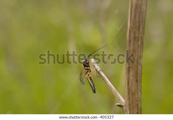 a parasitic wasp, scotland, may 2005