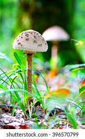 Parasol mushroom ( Macrolepiota procera ) in the forest