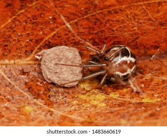 Parasteatoda mundula rolled-leaf comb-footed spider with its egg sac