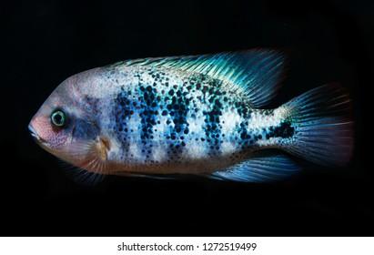 Beautiful Firehead Cichlid Cichlasoma Synspilum Vieja Stock Photo