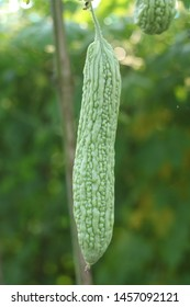 Pare or bitter melon (Momordica charantia), this plant is bitter. But, behind the bitter taste that was stored million for health benefits. Bitter melon originated from the South Indian
