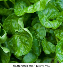Parennial Spinach Perpetual - Spinach Beet -  healthy vegetable..